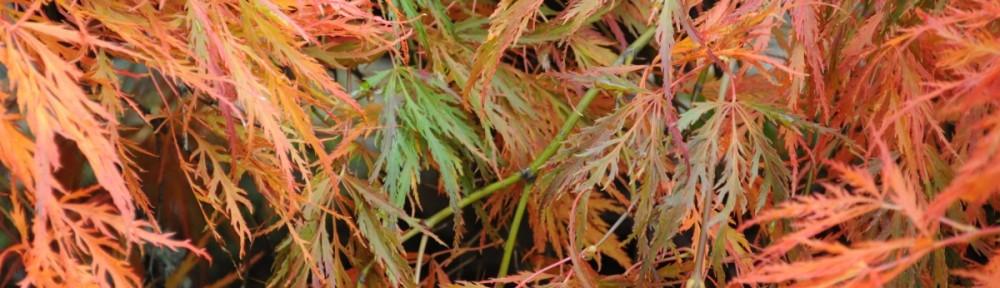 Acer_palmatum_fall_foliage_03