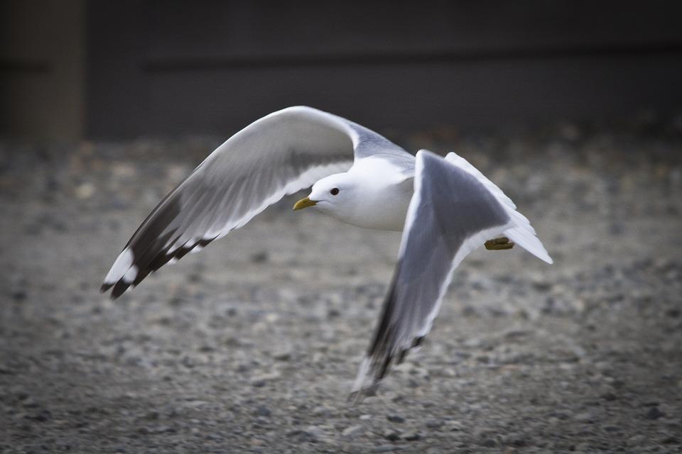 Mew Gull |