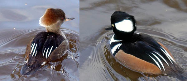 A female Hooded Merganser with a brownish body overall and a cinnamon crest on the left and a male Hooded Merganser with a brown and black body with a black crest with white spots of either side on the right.