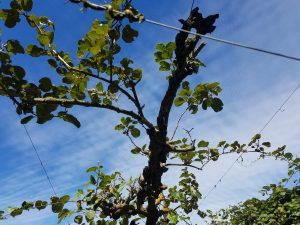 Two stabilizers on a pruned vine