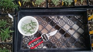 Rosemary cuttings in the willow tea bath and a pair of scissors.
