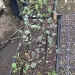 Transplanted cabbage