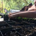 Transplanting peppers for the annual plant sale