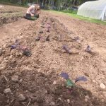 Purple kale transplants and Climina the farm assistant.