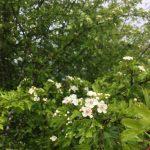 Hawthorn Blossoms!!