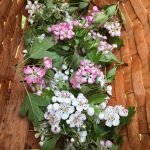 Harvested pink and pearl hawthorn