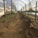 The finished hoop house with tomatoes and cucumbers.