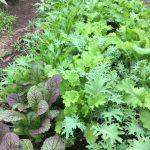 Beautiful salad mix still growing.