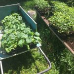 A wagon full of summer and winter squash ready for transplanting!