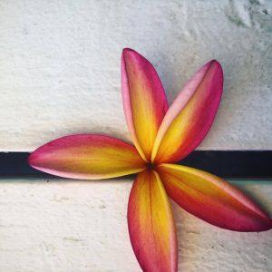Java Kai Plumeria. Photo by Sophie Tuchel