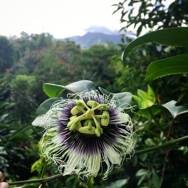Passionflower at Makaleha