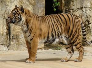 Sumatran Tiger The Ebestiary