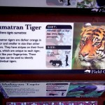Basic information about Sumatran Tigers from Point Defiance Zoo.