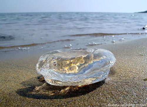 Moon Jellyfish | The eBestiary