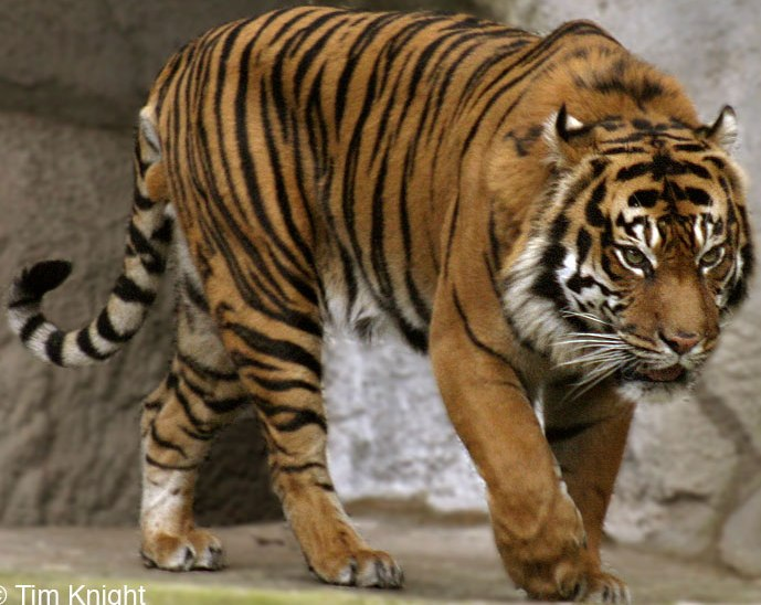 Go Back > Gallery For > White Sumatran Tigers