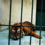 9 years incarcerated wild Sumatran Tiger