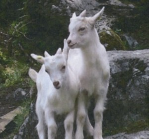 Two baby Mountain Goats