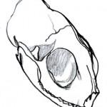 Cat Skull Sketch