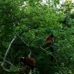 Red Ruffed Lemurs Sitting In Trees