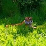 Malosi laying in grass.