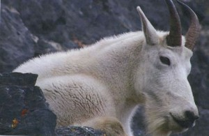 Mountain Goat Close-Up