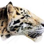 Panthera Zdenskyi - recreation by Velizar Simeonovski
