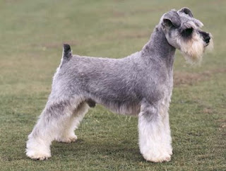A properly groomed Miniature Schnauzer