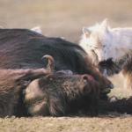 Mech, L D. The Arctic Wolf