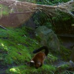 Red Ruffed Lemur Sniffing Ground