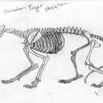 Sumatran Tiger Skeleton