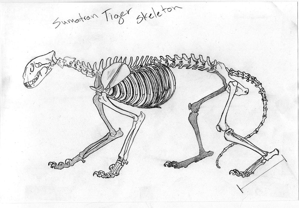 Sumatran Tiger Skeleton on land site