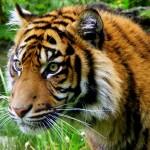 Sumatran Tiger 2 - Dk Raven