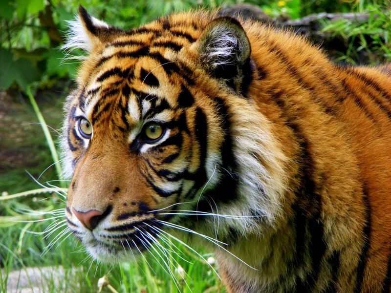 Where They Live Siberian Tiger Bengal Pride LandsZoologist With Tiger