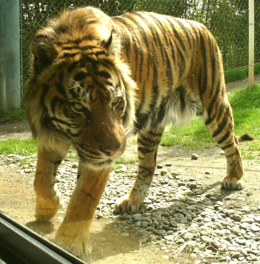 Sumatran Tiger The Ebestiary