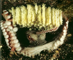 Image of a female octopus in her den with hanging eggs.