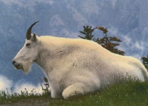 An adult Mountain Goat, lying in grass.