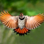 northern-flicker_1806800i