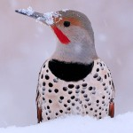 northern_flicker_2