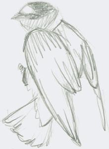pencil sketch of swallow in vertical perch