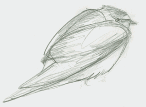 pencil sketch of cliff swallow from side, hunched down.