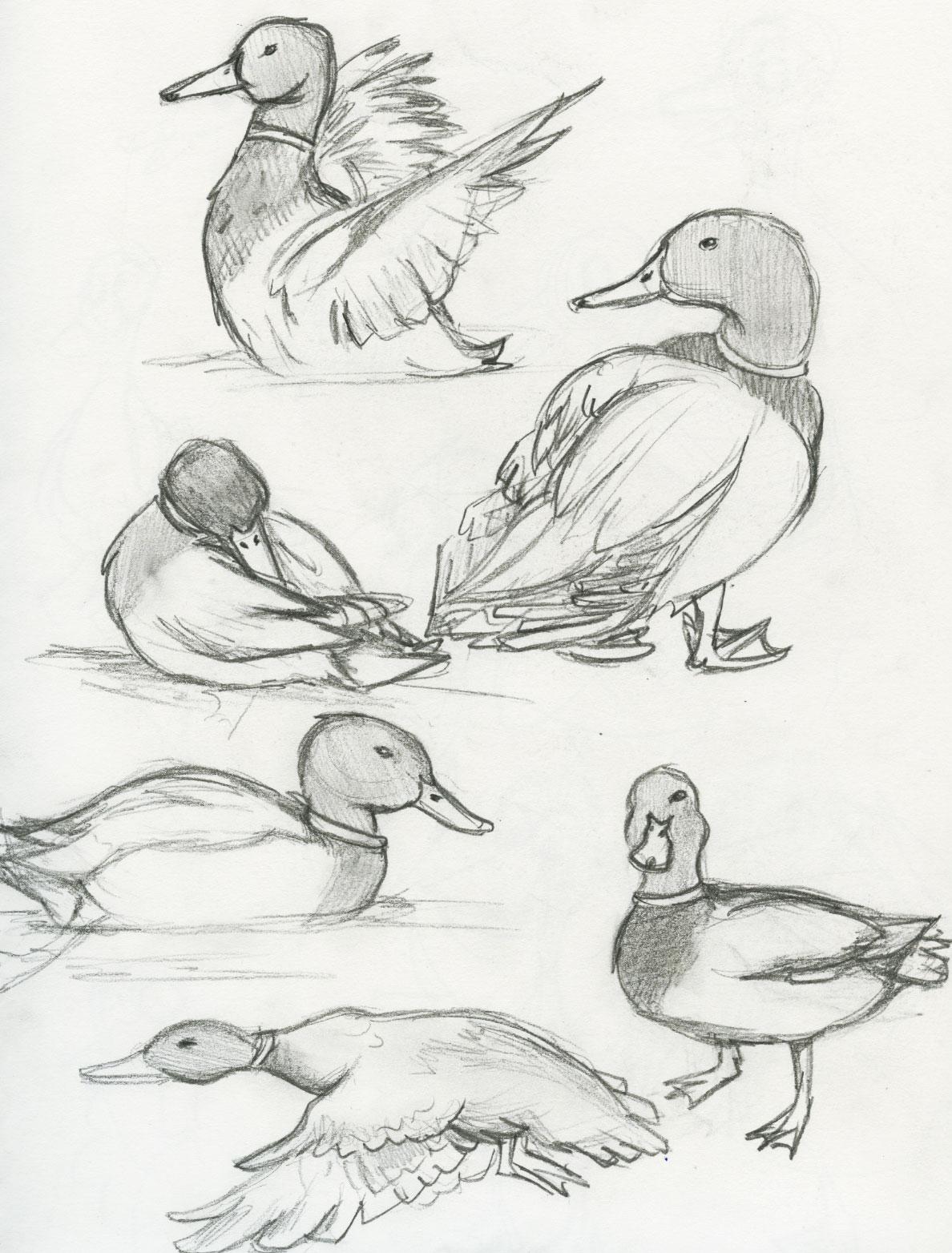 introduction mallard ducks