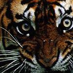 Sumatran Tiger (Malosi)