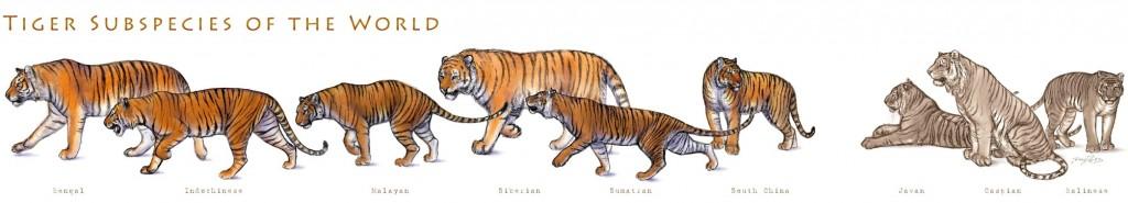 Diagram Of Sumatran Tigers Diy Enthusiasts Wiring Diagrams
