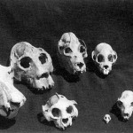 Skulls of Extinct Lemurs
