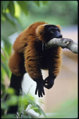 Red Ruffed Lemur Duke Lemur Center The Ebestiary