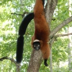 Red Ruffed Lemur climbing head-first down a tree trunk.