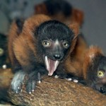 group of new-born Red Ruffed Lemurs