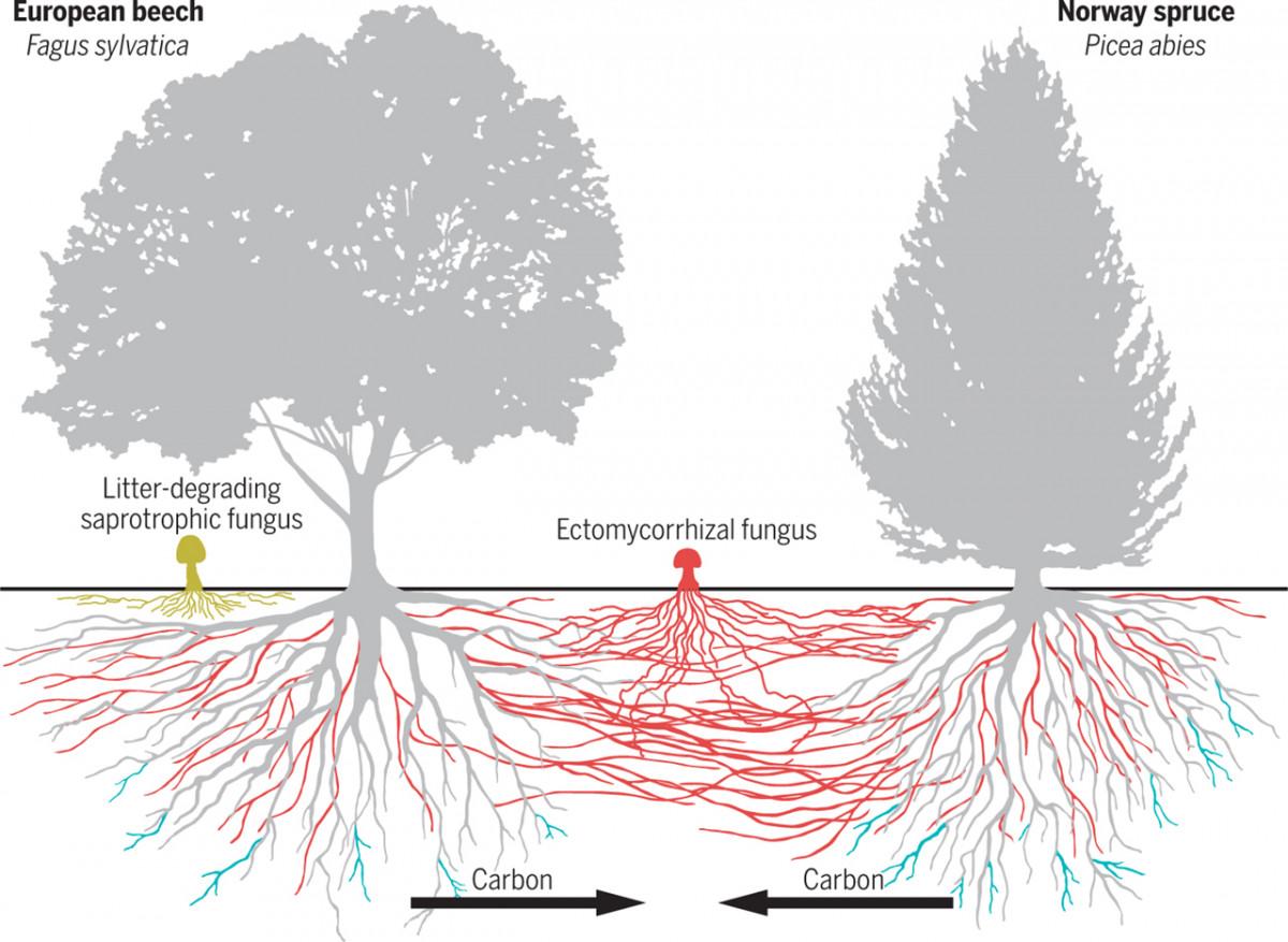 Mycorrhizal Networks