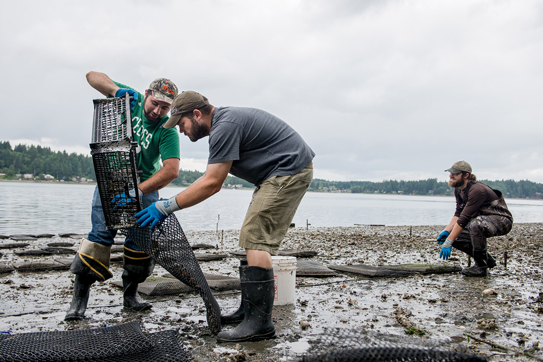 Nate Bernitz, Co-coordinator of the Shellfish Club (at far left) leads a work party at the Evergreen Beach. The club started a shellfish farm on the beach in July of 2012. -- Shauna Bittle photo