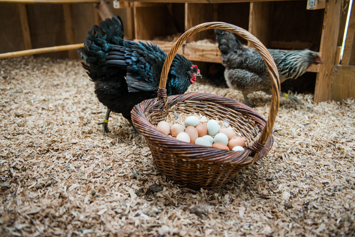 A basket of eggs in the hen house. The eggs are sold along with the farm's produce.